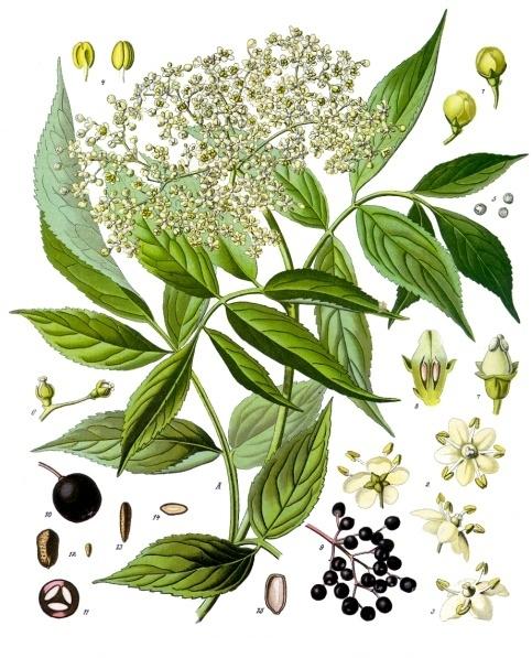 sambucus_nigra_-_kc3b6hlere28093s_medizinal-pflanzen-127